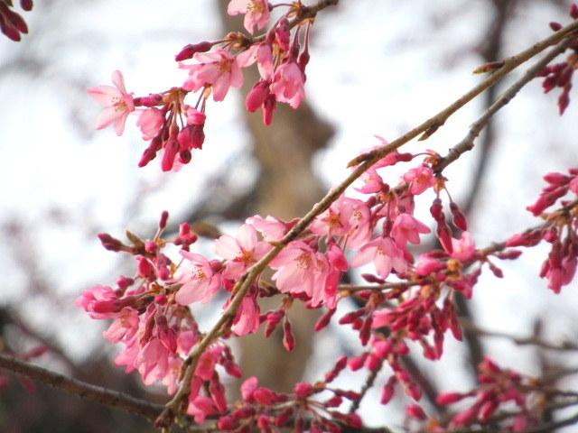 軽井沢の桜・2021 * プリンスホテル・ウエストのリニューアル & 周辺のしだれ桜♪ - ぴきょログ~軽井沢でぐーたら生活~