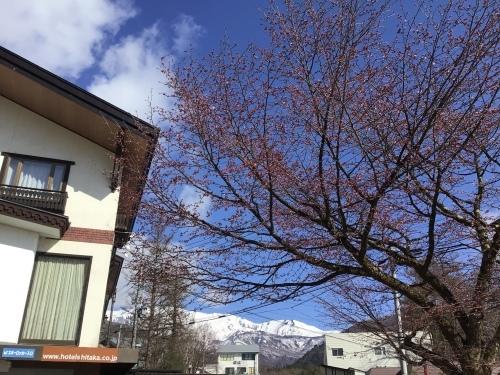 2021/4/15 今年の桜さん_a0140584_08363628.jpeg