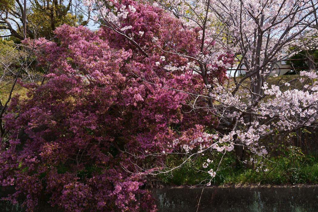 21.03.27:休日の昼前に室見川の桜散歩(後編)_c0007190_18264222.jpg