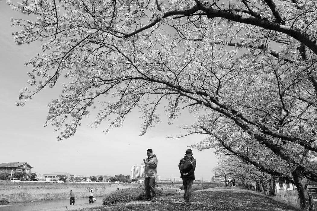 21.03.27:休日の昼前に室見川の桜散歩(後編)_c0007190_18272906.jpg