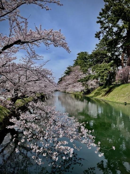 4月16日 弘前の桜 - Lovely! in London