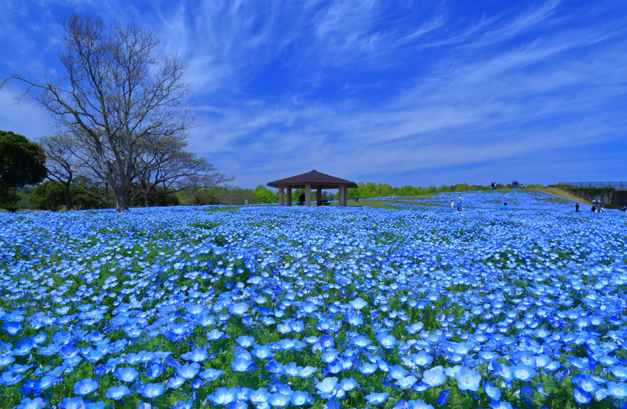 ネモフィラの丘 - 九州ロマンチック街道