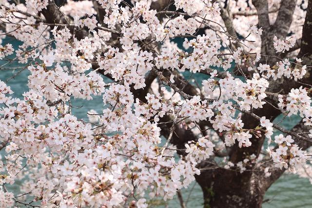 大台町さくら巡り(その3)(撮影:3月27日)_e0321325_18484045.jpg
