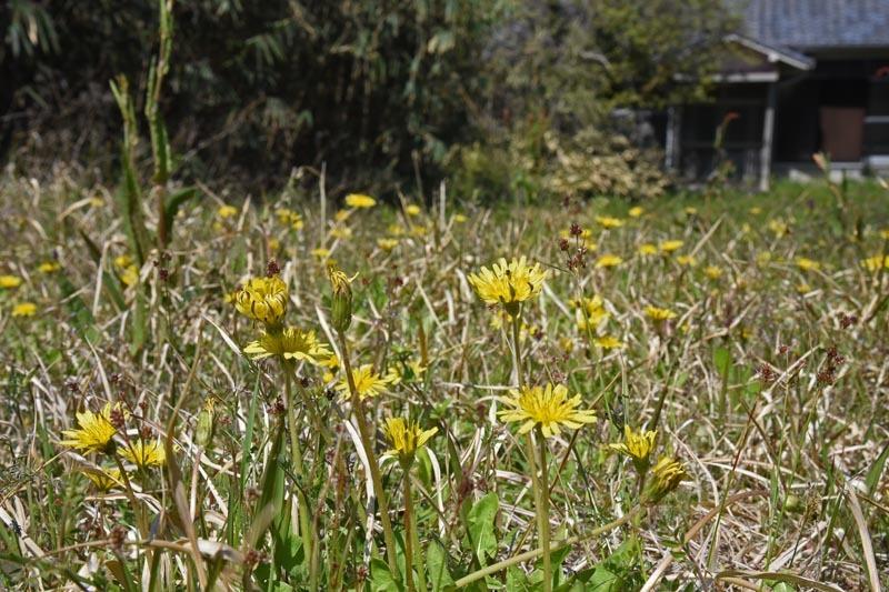 21年春の自然(31)…タンポポの在来種と外来種 _c0062934_19173416.jpg