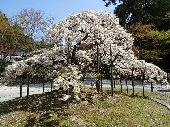 大原野神社・幻の桜「千眼桜」_b0299042_19294500.jpg