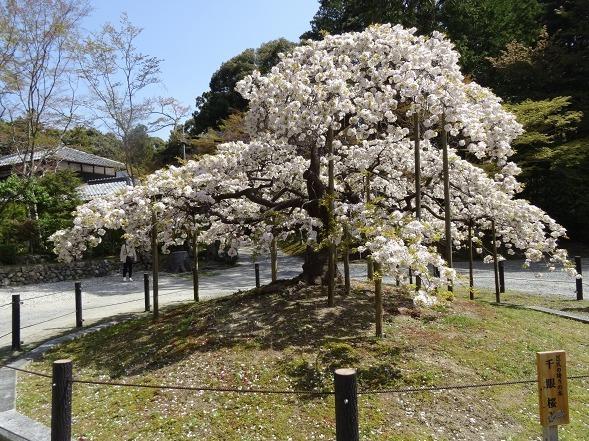 大原野神社・幻の桜「千眼桜」_b0299042_19322178.jpg