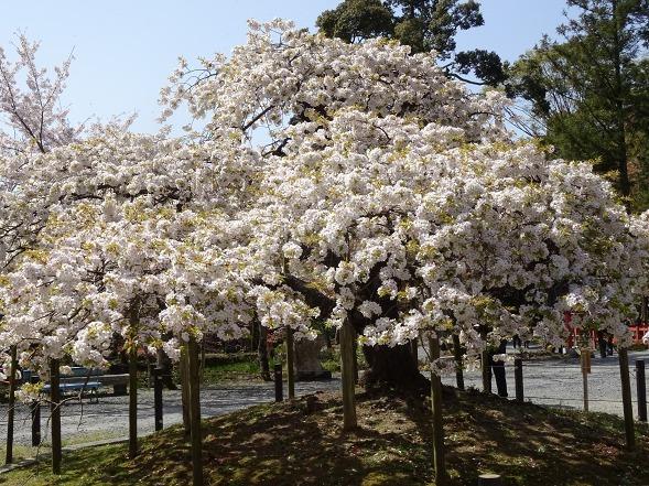 大原野神社・幻の桜「千眼桜」_b0299042_19322630.jpg