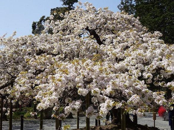 大原野神社・幻の桜「千眼桜」_b0299042_19323121.jpg