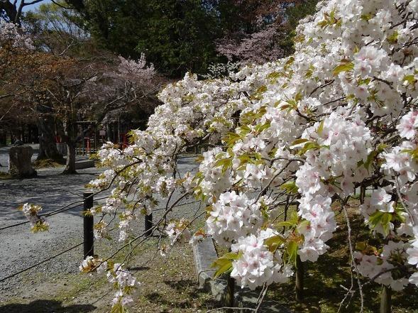 大原野神社・幻の桜「千眼桜」_b0299042_19323769.jpg