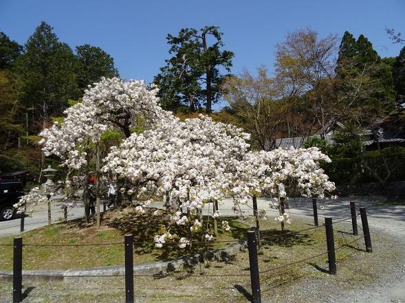 大原野神社・幻の桜「千眼桜」_b0299042_19324719.jpg
