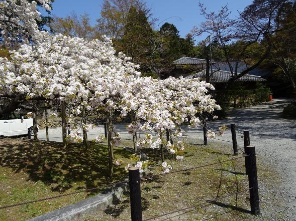 大原野神社・幻の桜「千眼桜」_b0299042_19325300.jpg