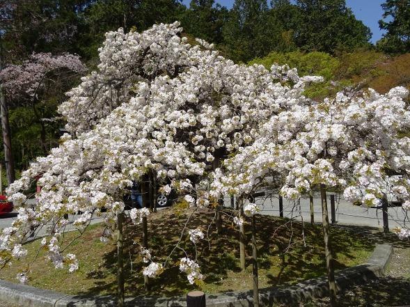 大原野神社・幻の桜「千眼桜」_b0299042_19340323.jpg