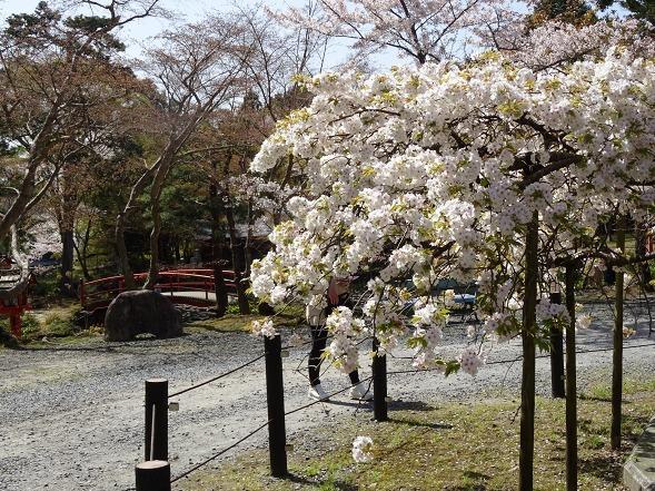 大原野神社・幻の桜「千眼桜」_b0299042_19341185.jpg