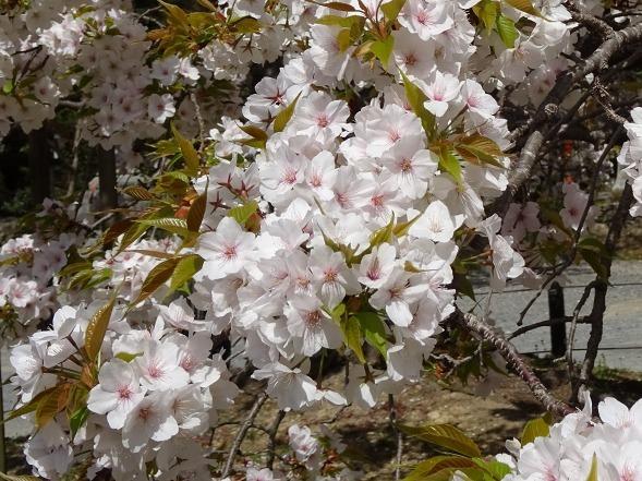 大原野神社・幻の桜「千眼桜」_b0299042_19341977.jpg