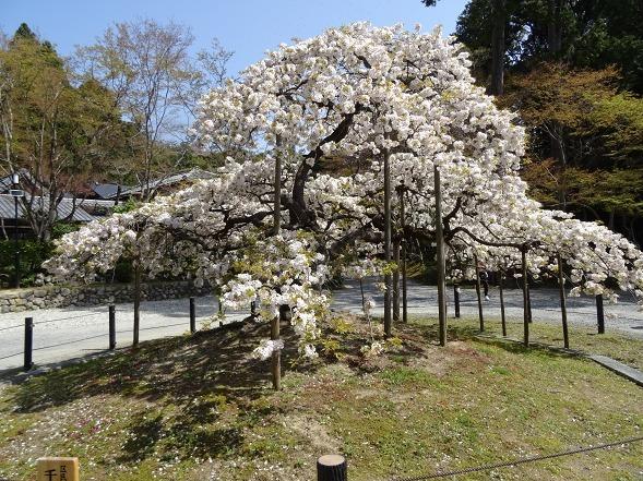 大原野神社・幻の桜「千眼桜」_b0299042_19343680.jpg