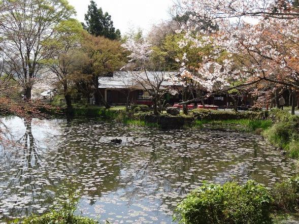 大原野神社・幻の桜「千眼桜」_b0299042_19344735.jpg