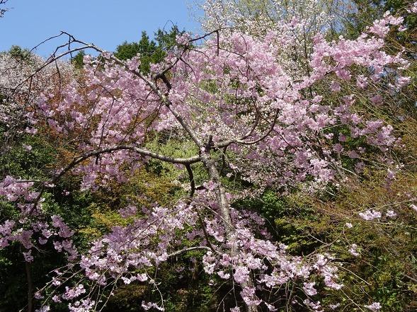 大原野神社・幻の桜「千眼桜」_b0299042_19360903.jpg