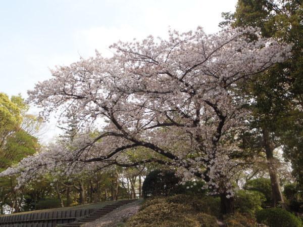 桜_d0181447_16015372.jpg