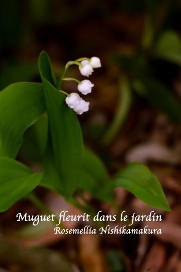 お庭のすずらん_d0078355_13285008.jpg