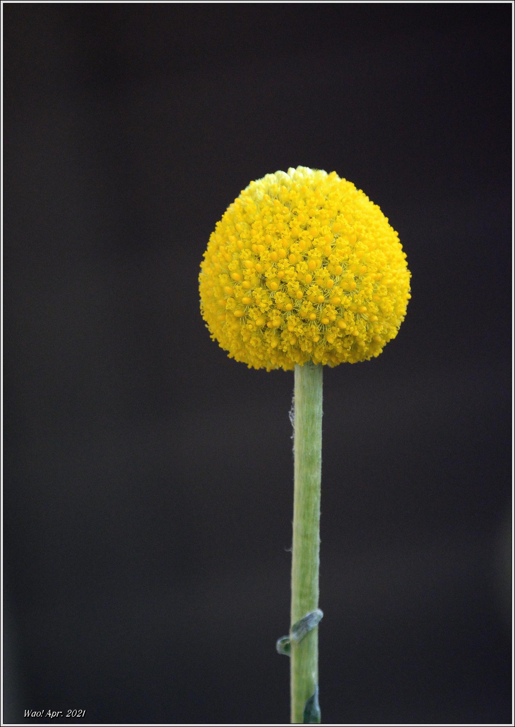 庭に咲く花(2021)-5 ジキタリス・シラー・釣鐘水仙・他_c0198669_15252472.jpg