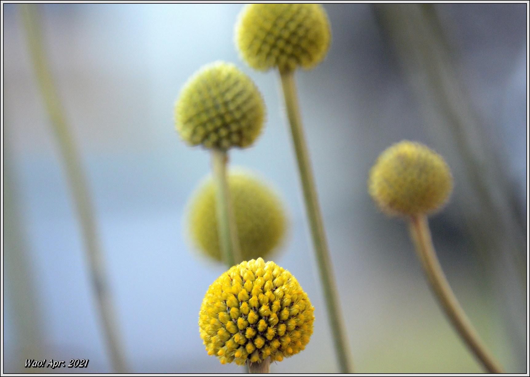 庭に咲く花(2021)-5 ジキタリス・シラー・釣鐘水仙・他_c0198669_15263224.jpg