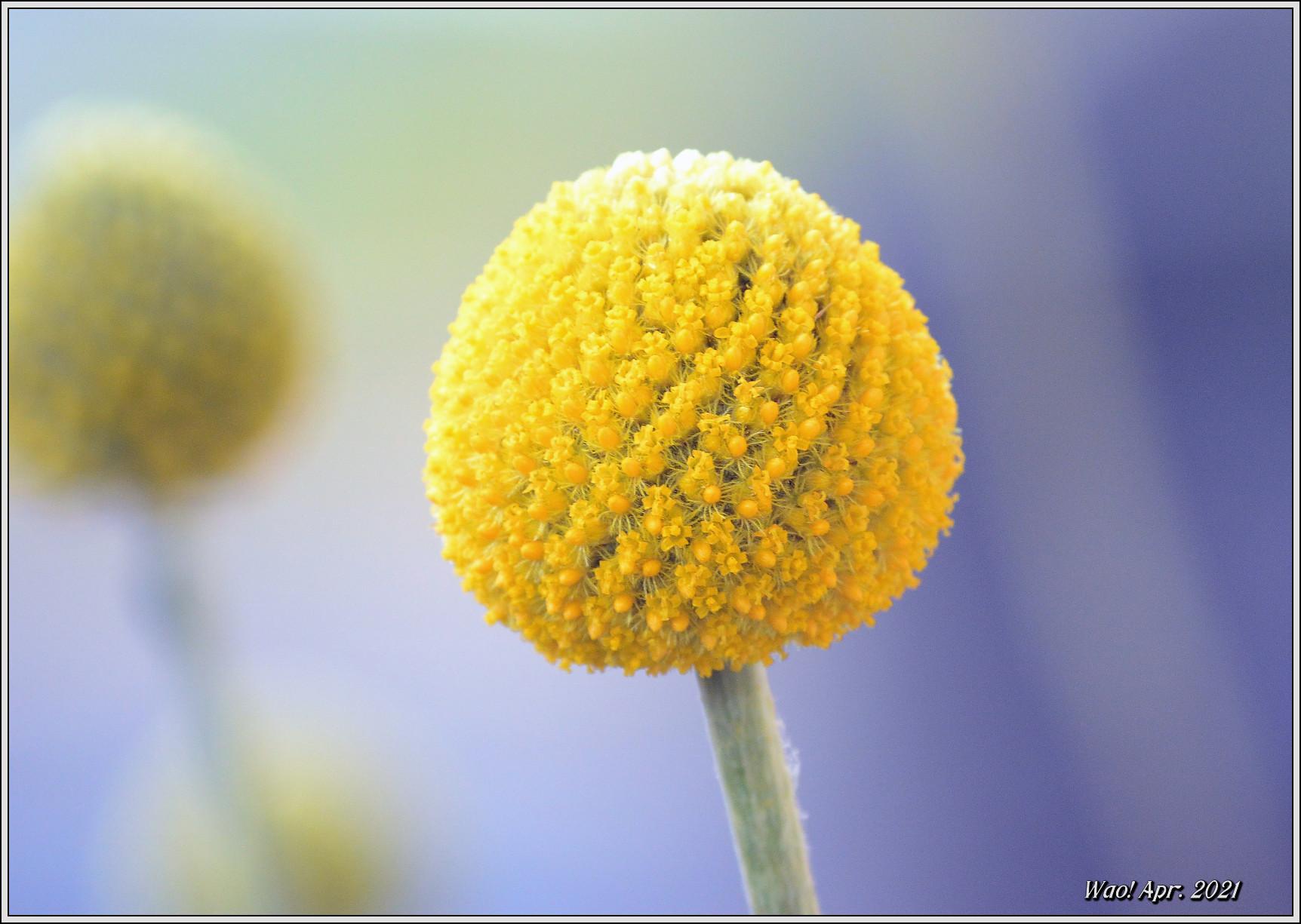 庭に咲く花(2021)-5 ジキタリス・シラー・釣鐘水仙・他_c0198669_15263593.jpg