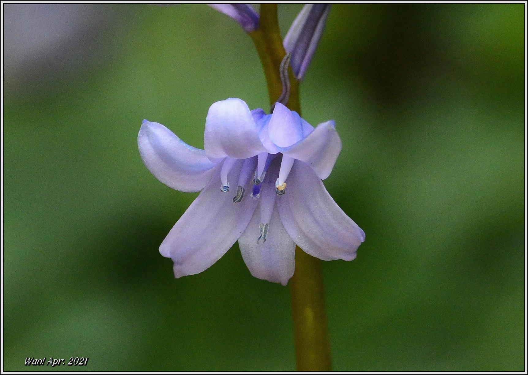庭に咲く花(2021)-5 ジキタリス・シラー・釣鐘水仙・他_c0198669_15263941.jpg