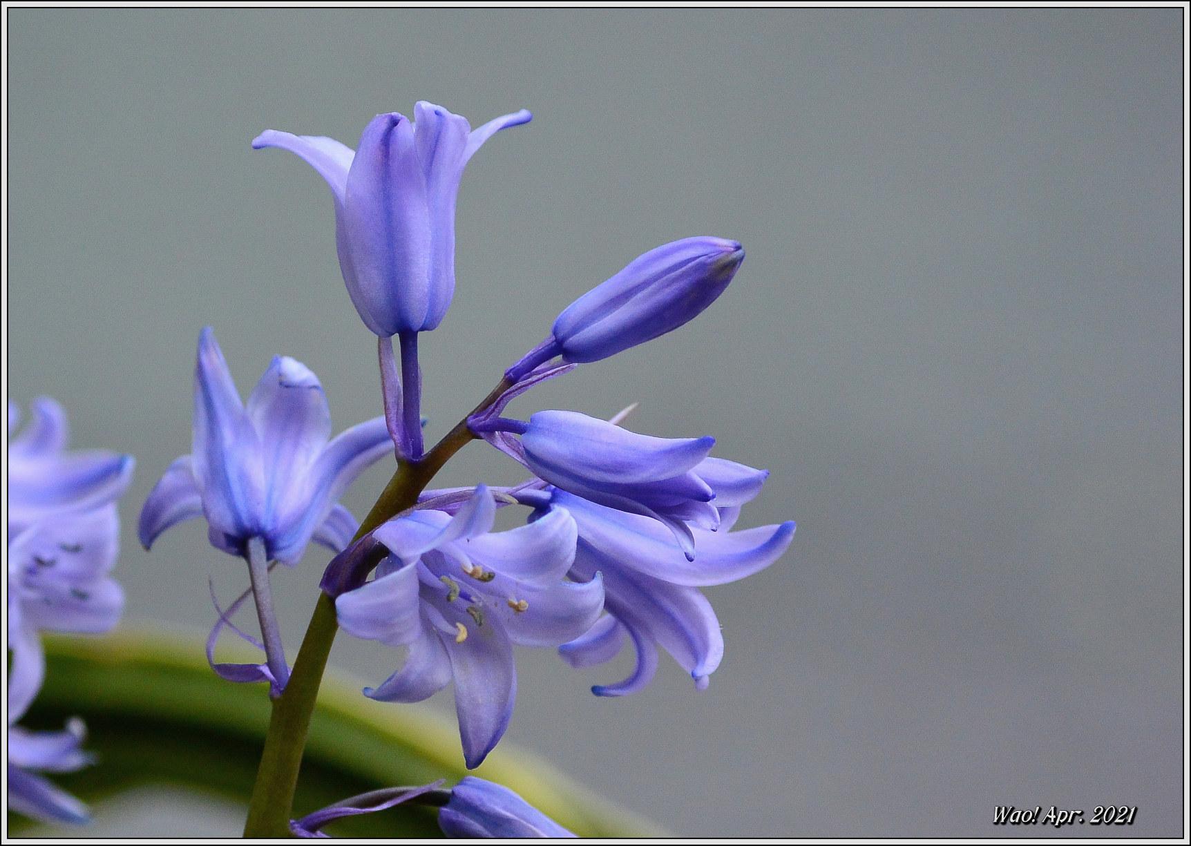 庭に咲く花(2021)-5 ジキタリス・シラー・釣鐘水仙・他_c0198669_15264317.jpg