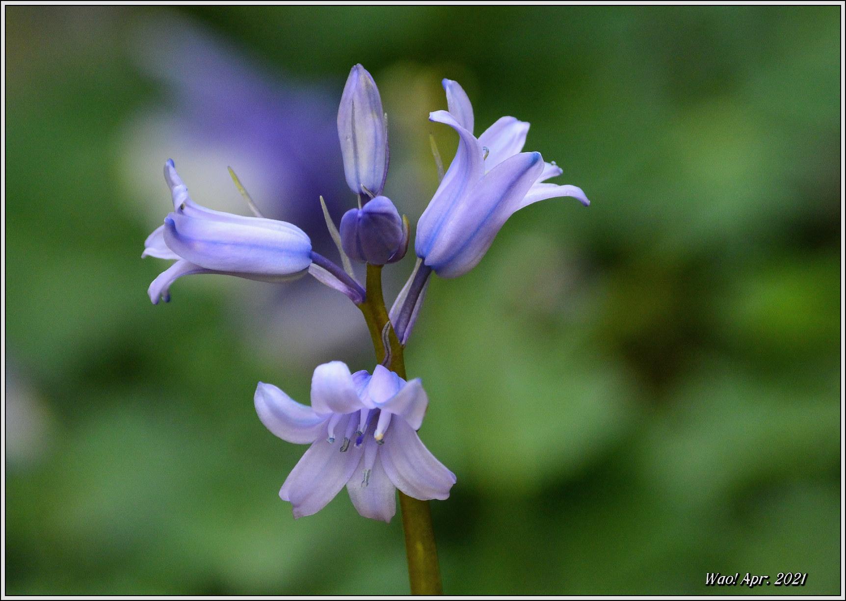 庭に咲く花(2021)-5 ジキタリス・シラー・釣鐘水仙・他_c0198669_15264687.jpg