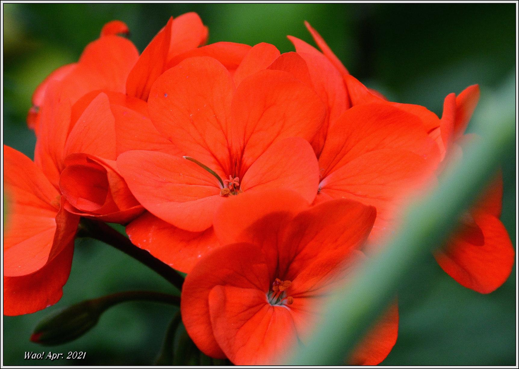 庭に咲く花(2021)-5 ジキタリス・シラー・釣鐘水仙・他_c0198669_15274156.jpg