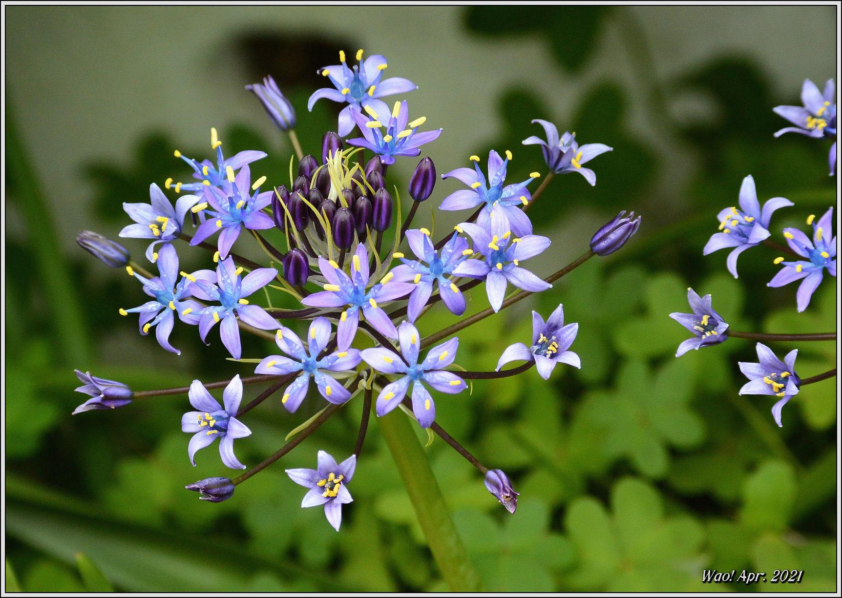 庭に咲く花(2021)-5 ジキタリス・シラー・釣鐘水仙・他_c0198669_15274619.jpg