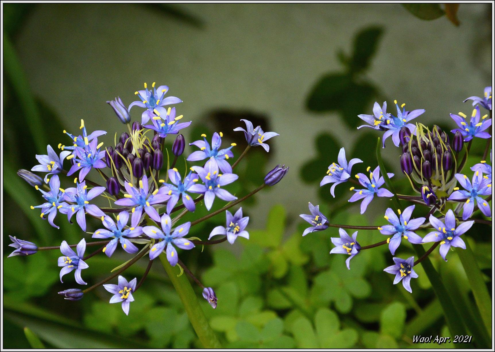 庭に咲く花(2021)-5 ジキタリス・シラー・釣鐘水仙・他_c0198669_15274942.jpg