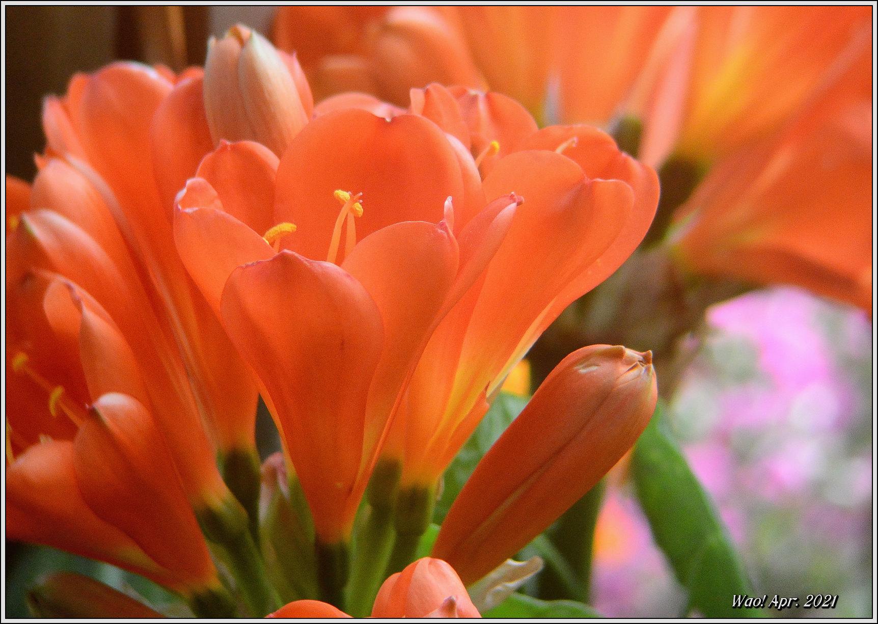 庭に咲く花(2021)-5 ジキタリス・シラー・釣鐘水仙・他_c0198669_15275378.jpg