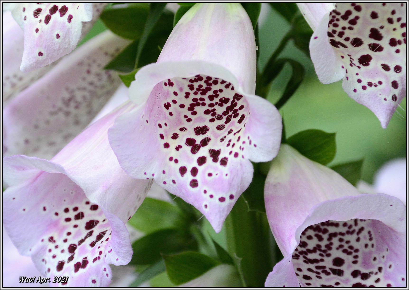 庭に咲く花(2021)-5 ジキタリス・シラー・釣鐘水仙・他_c0198669_15275540.jpg