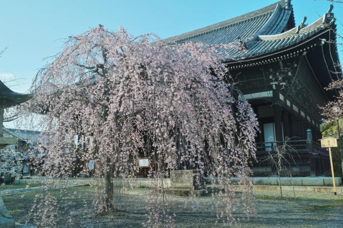 京都 桜 2021_f0021869_23521962.jpg
