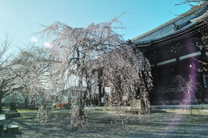 京都 桜 2021_f0021869_23522041.jpg