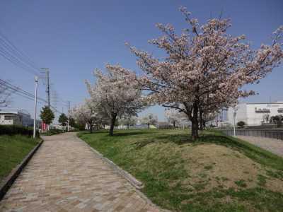 富浜緑地・中川口緑地 満開を迎えたさくらの紹介_d0338682_14350139.jpg
