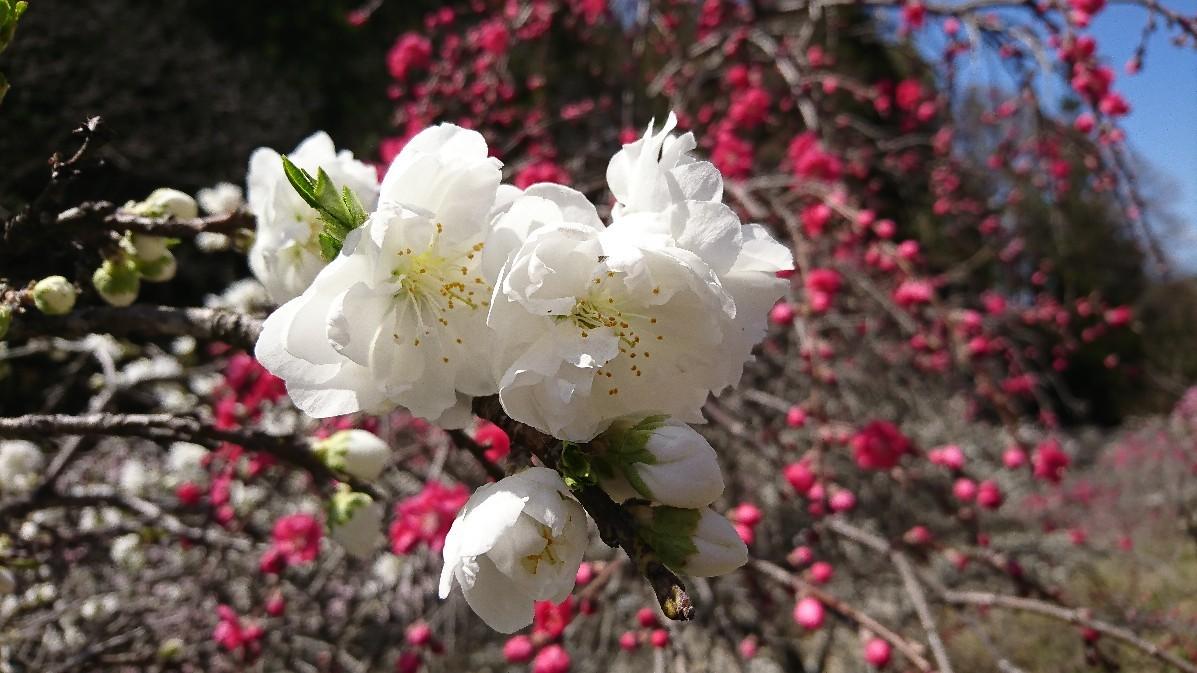 花桃とみつまたの花_e0124493_14121478.jpg