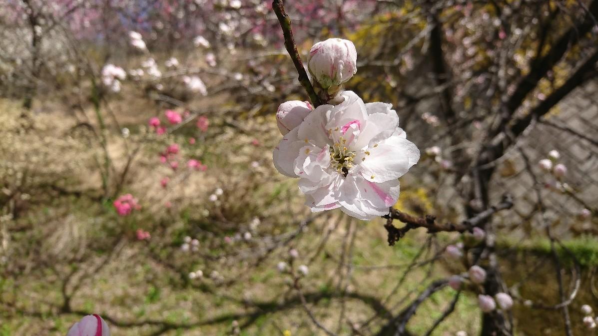 花桃とみつまたの花_e0124493_14121505.jpg