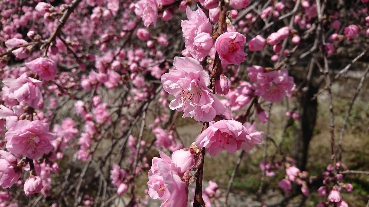 花桃とみつまたの花_e0124493_14121540.jpg