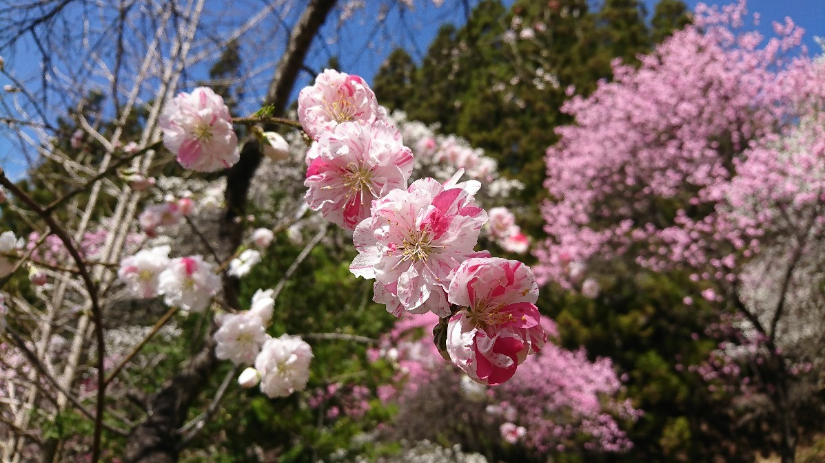 花桃とみつまたの花_e0124493_14121558.jpg