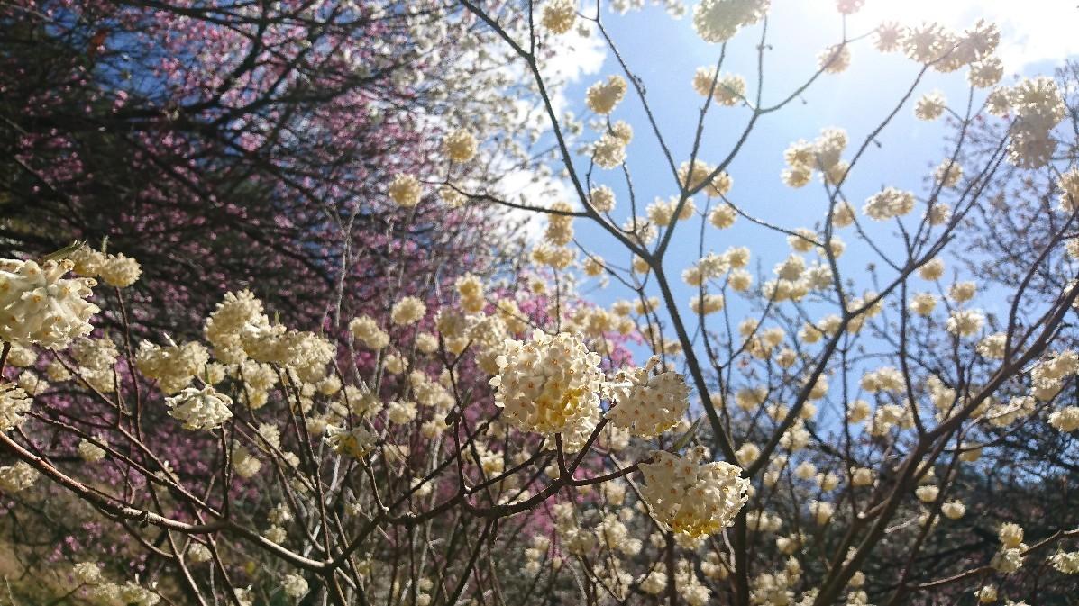 花桃とみつまたの花_e0124493_14173205.jpg