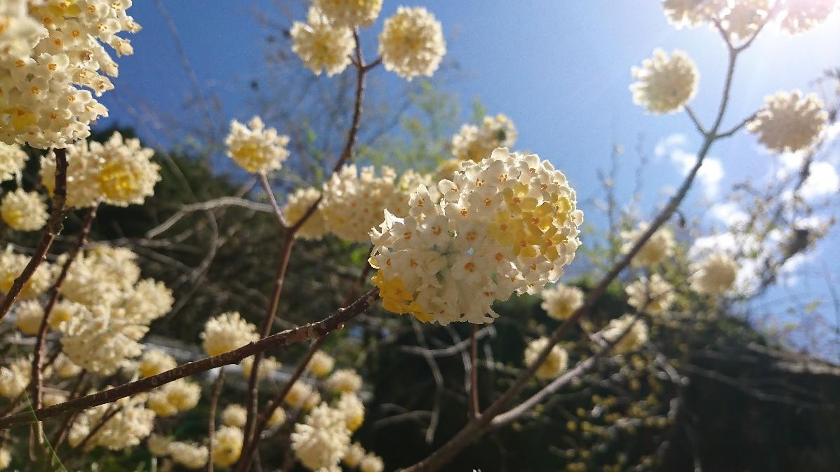 花桃とみつまたの花_e0124493_14173316.jpg