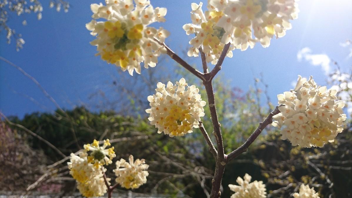 花桃とみつまたの花_e0124493_14173339.jpg