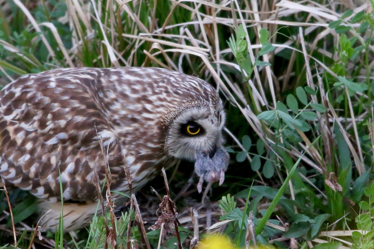 閲覧注意ーコミミズクの素顔ー2 - T/Hの野鳥写真-Ⅳ