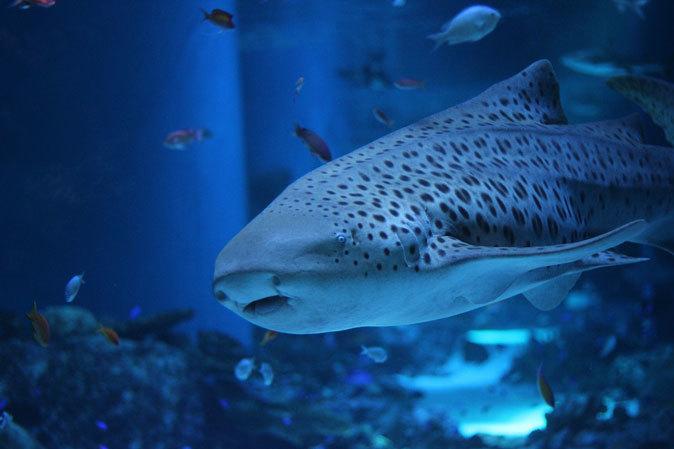 アクアパーク品川:サメ水槽のサメたちとサンゴ礁の魚たち~成長途中のキツネベラ_b0355317_21470474.jpg