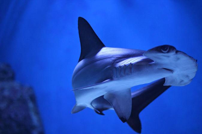 アクアパーク品川:サメ水槽のサメたちとサンゴ礁の魚たち~成長途中のキツネベラ_b0355317_21475758.jpg