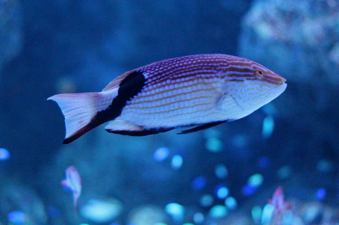 アクアパーク品川:サメ水槽のサメたちとサンゴ礁の魚たち~成長途中のキツネベラ_b0355317_21530871.jpg