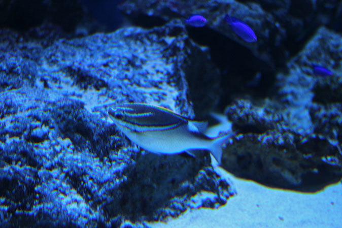 アクアパーク品川:サメ水槽のサメたちとサンゴ礁の魚たち~成長途中のキツネベラ_b0355317_22074804.jpg