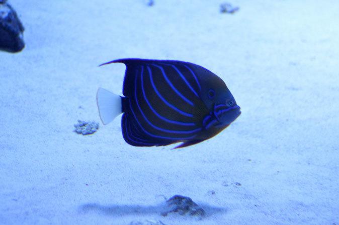 アクアパーク品川:サメ水槽のサメたちとサンゴ礁の魚たち~成長途中のキツネベラ_b0355317_22084043.jpg